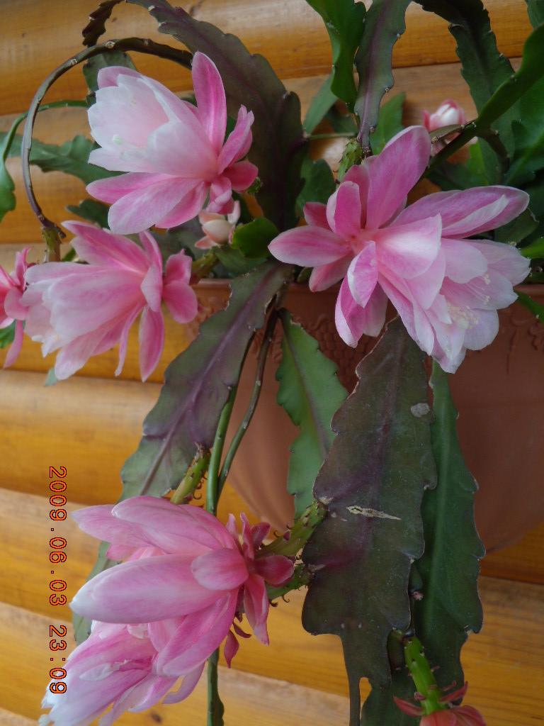 Эпифиллум  лесной кактус происхождение цветка научное