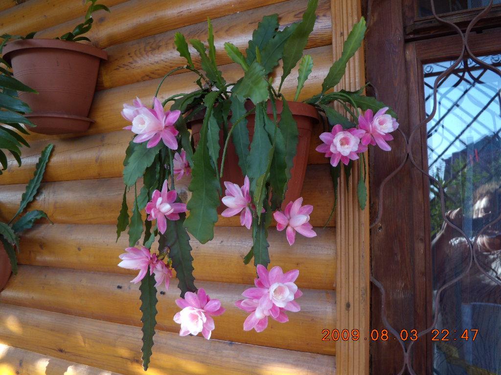 Лесные кактусы уход в домашних условиях названия видов
